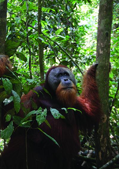 Cross-orangutan-400