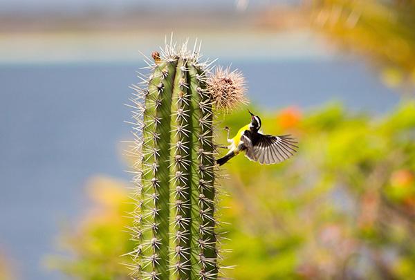 Mexico cactus bird-600