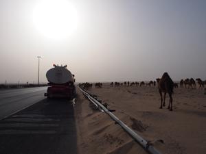 boubyan-island-camels-300x225