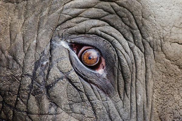 elephant-eye-600