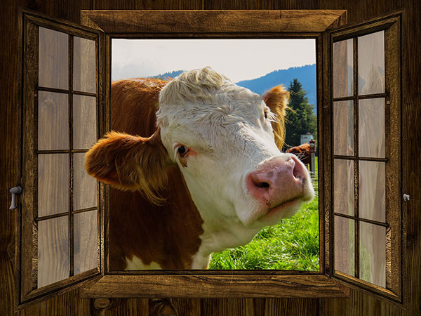 cow-window-600