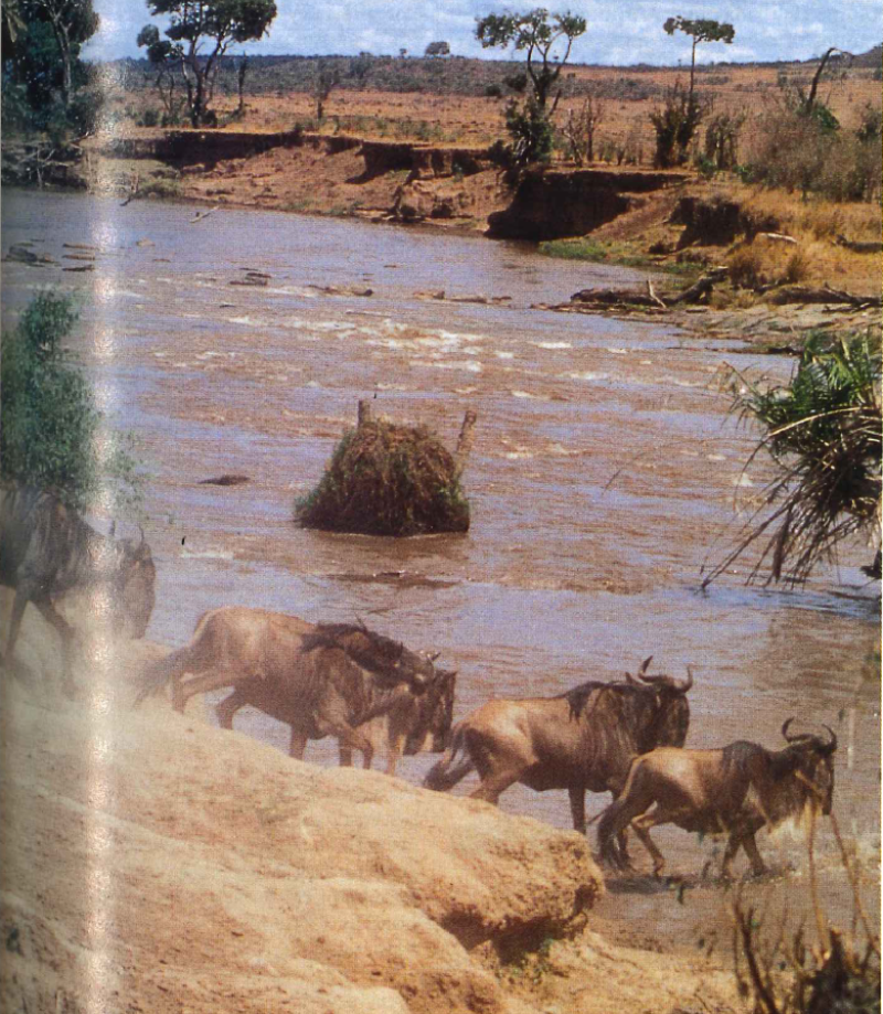Africa_May_1994-wildebeest-780.png