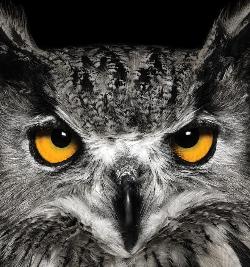 owl-great-horned-istock-960.jpg